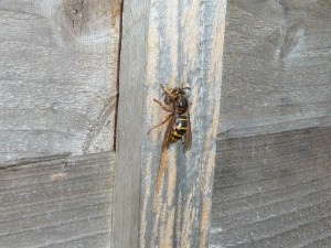 Median wasp rasping wood for nest building