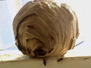 Structured nest of the Common wasp - www.waspcontrolhertfordshire.com