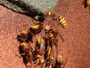 Hornet activity at a nest site - www.waspcontrolhertfordshire.com
