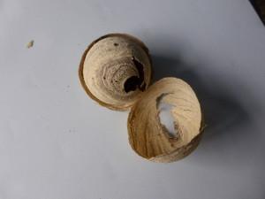 Nursary wasp nest - 2